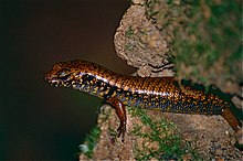 Blue-speckled Forest-skink (Eulamprus murrayi) (10057300746).jpg