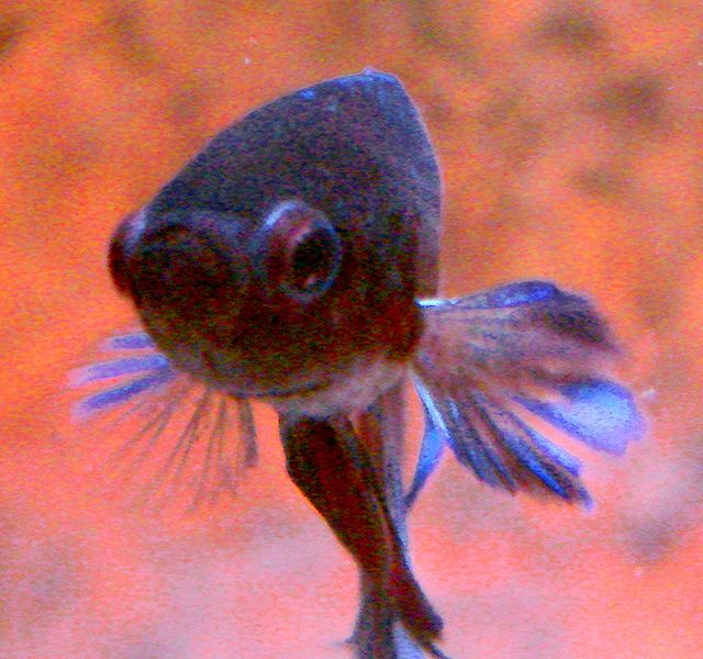 File:Blue Betta face closeup.jpg