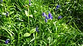 Bluebell, Dundonald, South Ayrshire, Scotland.jpg