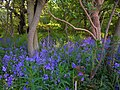 Bluebells in Rabbit Warren - geograph.org.uk - 425280.jpg
