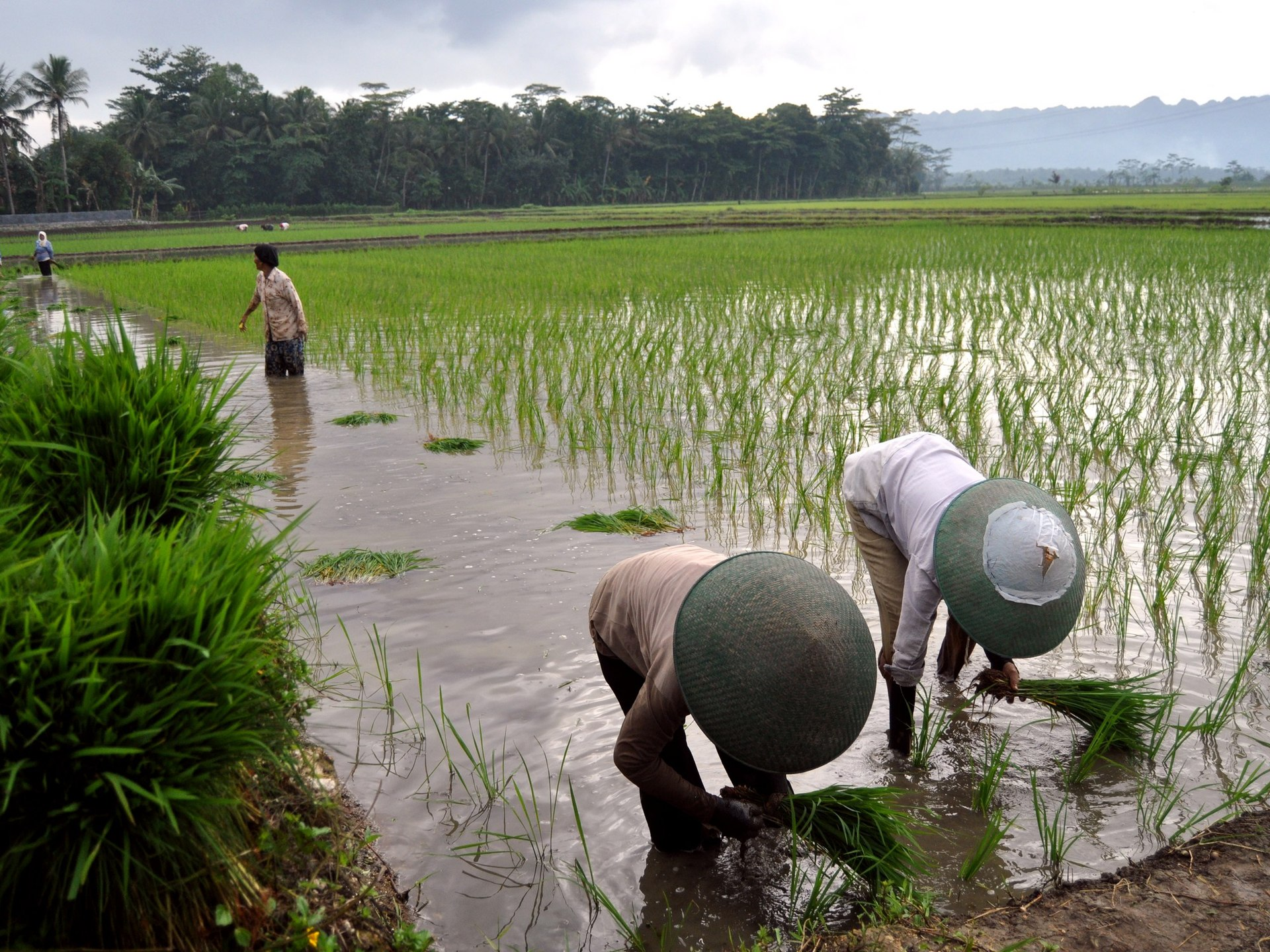 history of the philippine agriculture What is the importance of agriculture in the philippines what are the problems of agriculture in the what is the history of agricultural land conversion.
