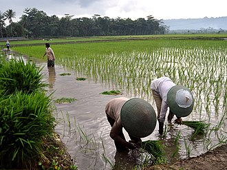 Agriculture in Indonesia - Rice cultivation in Banyumas, Central Java.