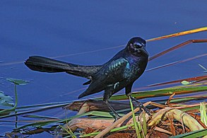 Boat-tailed Grackle - Quiscalus major, Lake Okeechobee, Florida.jpg