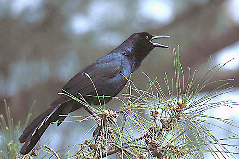 File:Boat-tailed Grackleon sanibel Island, Florida.jpg