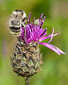 Bombus Sylvarum - Centaurea scabiosa - Keila2.jpg