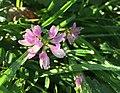 Bont kroonkruid (Securigera varia).jpg