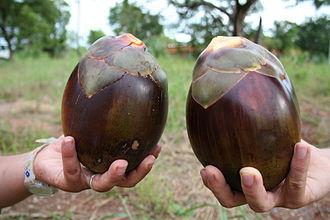 Borassus - Ake Assi's Palmyra palm (Borassus akeassii) fruit
