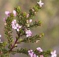 Boronia warrumbunglensis.jpg