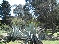 Botanički vrt otoka Lokruma.JPG