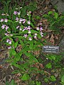Botanical Gardens at Asheville - Penstemon smallii.JPG