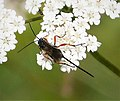 Braconidae, Agathidinae (38896093255).jpg
