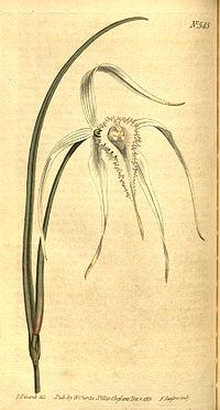 Brassavola-cucullata1web