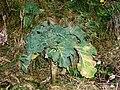 Brassica Oleracea 2.JPG