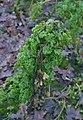 Brassica oleracea var. sabellica with Erwinia carotovara subsp. carotovora (02).jpg