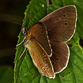Brauner Waldvogel 6564.jpg