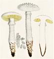 Bresadola - Amanita echinocephala.png