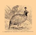 Brockhaus and Efron Encyclopedic Dictionary b33 074-0- 5 - Lophortyx californicus.png