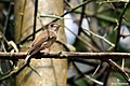 Brown-breasted Flycatcher (Muscicapa muttui) മുത്തുപ്പിള്ള. (37874760955).jpg