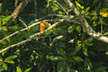 Brown-winged Kingfisher - Thailand H8O7994 (16292014686).jpg