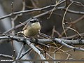Brown Accentor (Prunella fulvescens) (25731822731).jpg