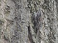 Brown Creeper (33290350176).jpg