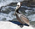 Brown Pelican (40078288214).jpg