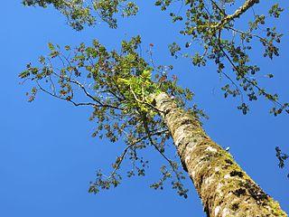 <i>Brunellia</i> genus of plants