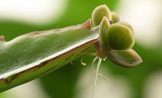 Bryophyllum daigremontianum - Image: Bryophyllum Daigremontianum macro 1