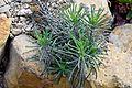 Bryophyllum delagoense in Tropengewächshäuser des Botanischen Gartens 02.jpg