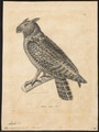 Bubo virginianus - 1700-1880 - Print - Iconographia Zoologica - Special Collections University of Amsterdam - UBA01 IZ18400089.tif