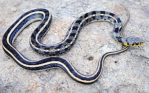 Description de l'image Buff striped keelback Amphiesma stolatum by Krishna Khan Amravati.jpg.