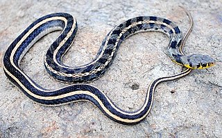 Buff striped keelback species of reptile