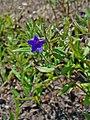 Buglossoides purpurocaerulea 02.JPG