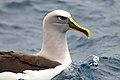 Buller's Albatross (25703232950).jpg