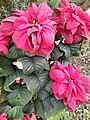 Bunga Katusba.jpg