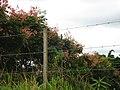 Buritana - Flôres na paisagem (clique na foto) - panoramio - Manoel Messias de So….jpg