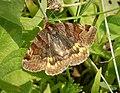 Burnet Companion Euclydia glyphica (45695993051).jpg