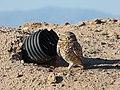 Burrowing Owl (24902570492).jpg