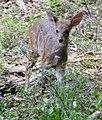 Bushbuck (Tragelaphus scriptus) young ... (46583952022).jpg