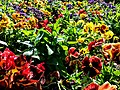 Butchart Gardens - Victoria, British Columbia, Canada (29111657070).jpg