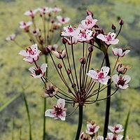 Butomus umbellatus-IMG 4698.jpg