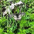 Butterfly Bryagovo.jpg