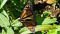 Butterfly at Jardim Plantas Aromaticas (Funchal) (24244802968).jpg