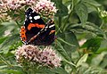 Butterfly at Tintagel - geograph.org.uk - 217077.jpg