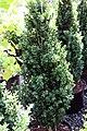 Buxus sempervirens Dee Runk 0zz.jpg