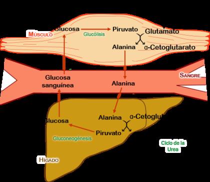 ciclo propionato boldenona winstrol