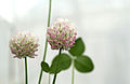 CSIRO ScienceImage 3593 White Clover Trifolium repens.jpg