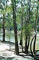 CSIRO ScienceImage 4402 Chowilla Creek bank and river gums Chowilla SA.jpg
