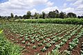 Cabbage plot, Kibirichia area, Mount Kenya.jpg
