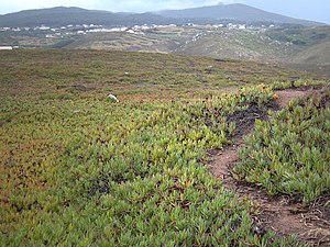 Cabo da Roca - The invasive Carpobrotus edulis spread onto the plateau of the Cape